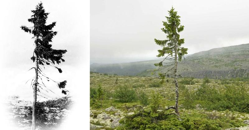 Самое старое в мире дерево растёт в Швеции - ему девять с половиной тысяч лет
