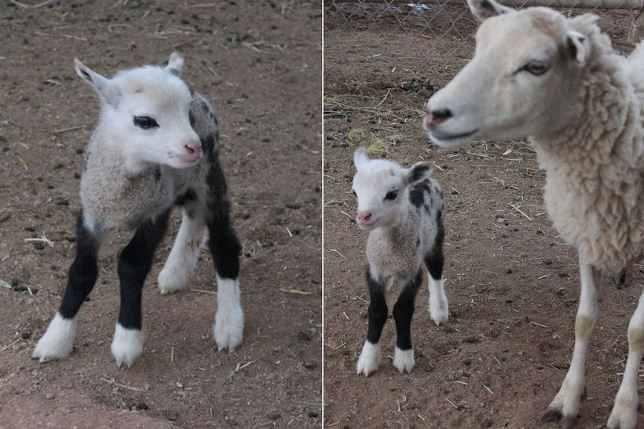 Картинки по запросу Гибрид овцы и козы