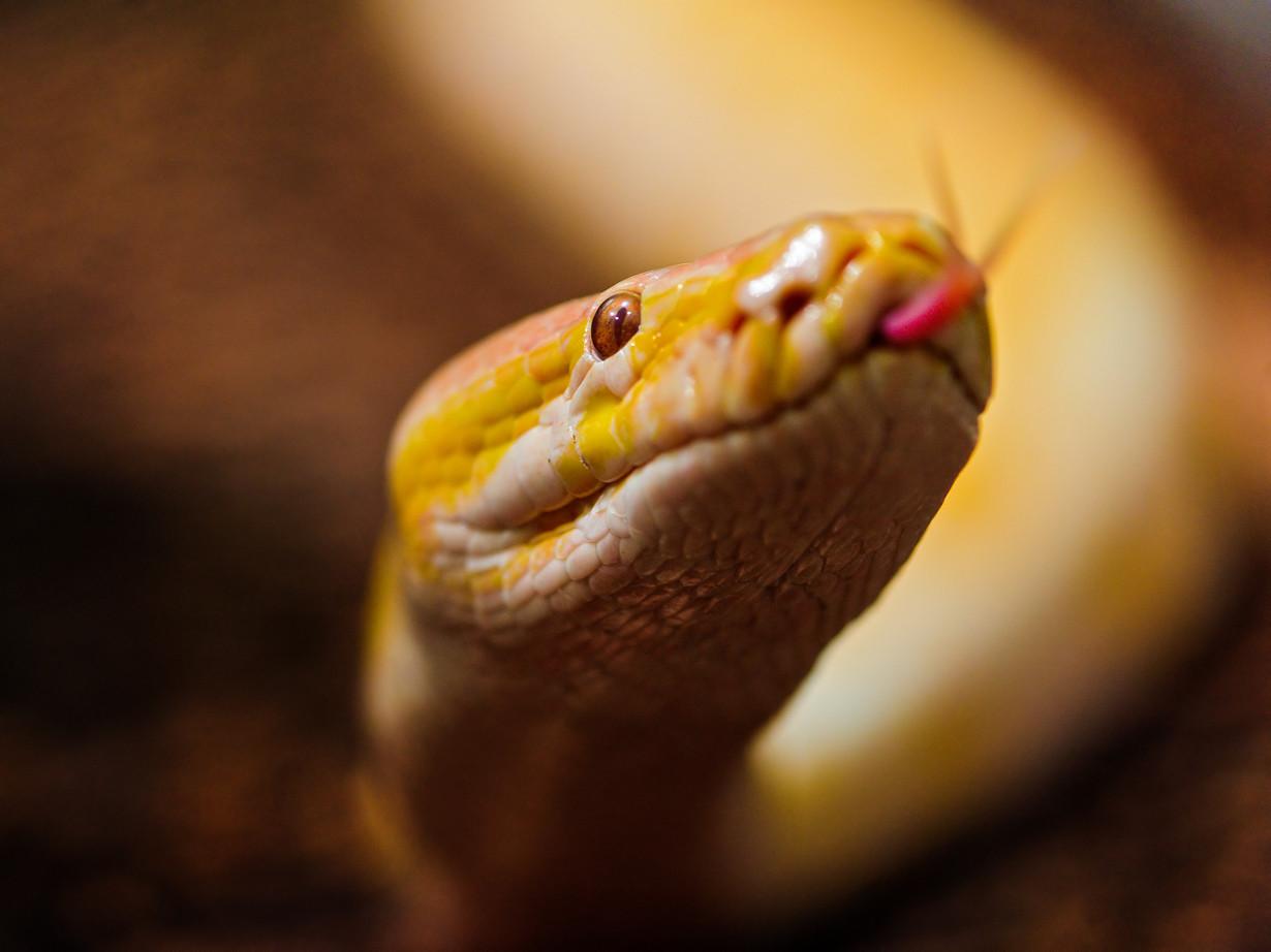 4. Тигровый питон в мире, змея, красота