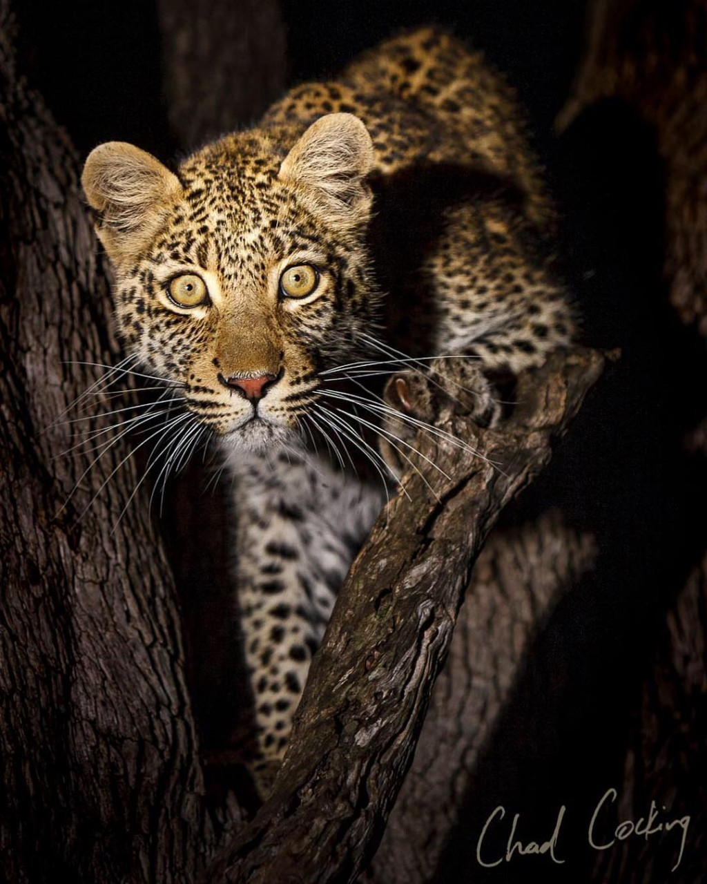 Дикие животные Африки на снимках Чада Кокинга