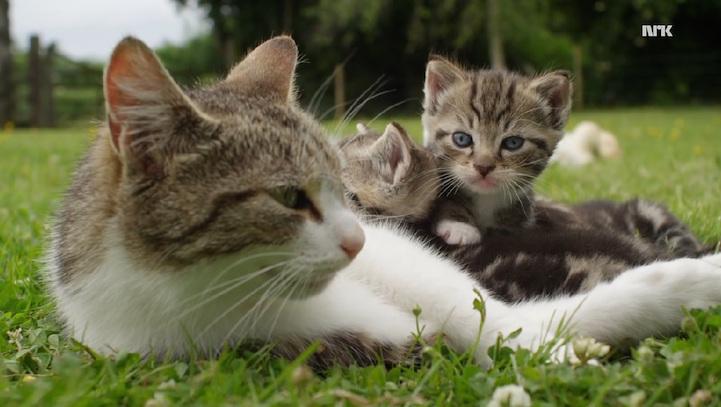 Кошка усыновила осиротевших утят