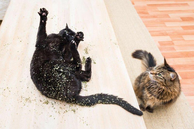 Коты под воздействием кошачьей мяты: 15 забавных фотографий
