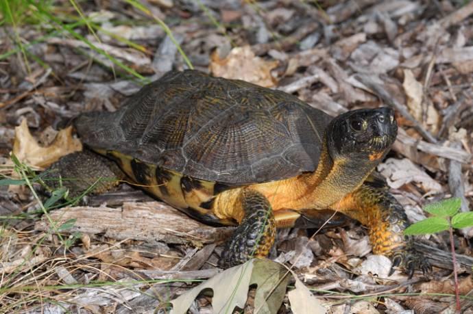 Канадец вывел на своем дворе потомство редкой черепахи