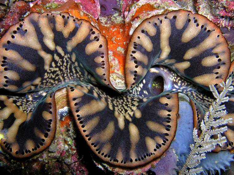 Жители морских глубин: тридакны