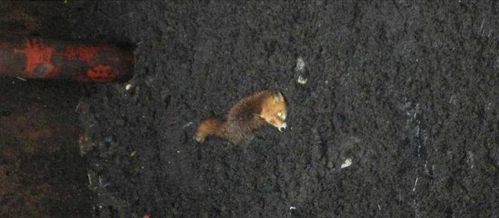 Спасение лисы, провалившейся в сточную яму