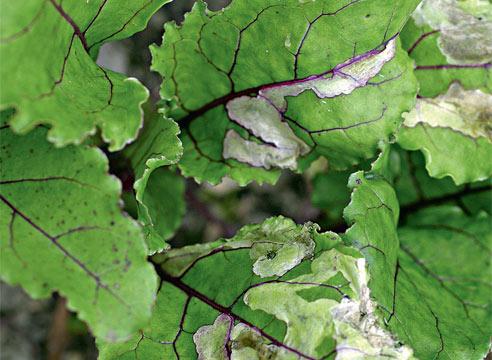 Растение пораженное минером