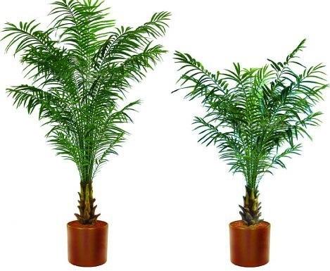 Как вырастить дома финиковую пальму.