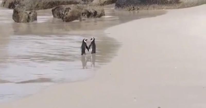 «Они что, держатся за КРЫЛЫШКИ?!»: влюбленные пингвины покорили твиттер