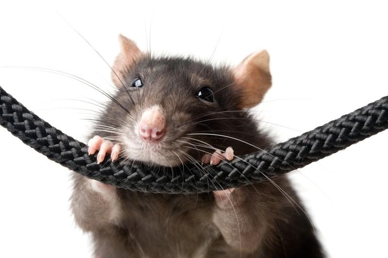 Прикольные фото смеющейся мыши крысы фото 347-988