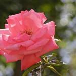 """Роза """"Ramira"""" или """"Agatha Christie"""""""