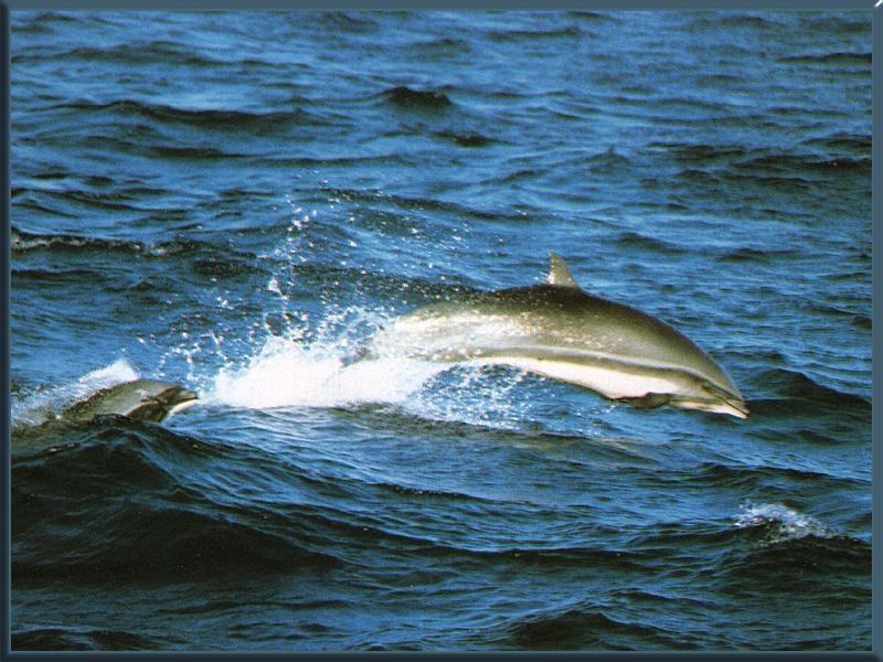 Малайзийский дельфин дельфины, животные