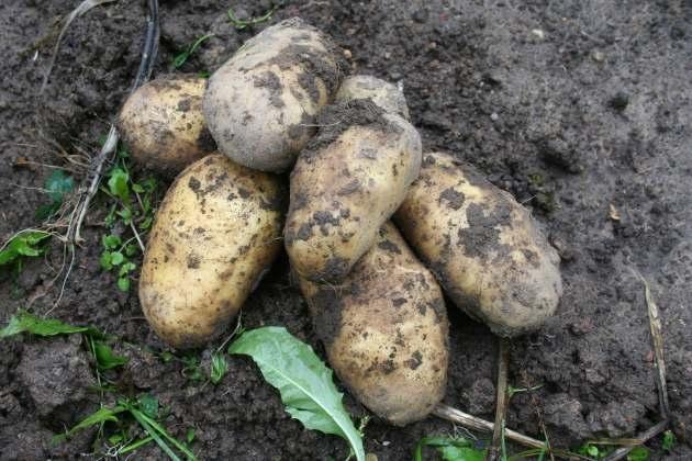 Картофель на грядке держу до октября
