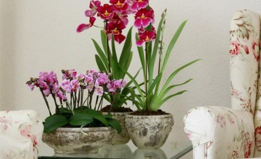Одомашненные орхидеи
