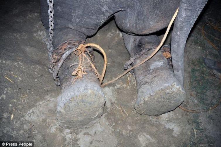 Radga04 Спасение слона, проведшего 50 лет в неволе, который плакал от счастья