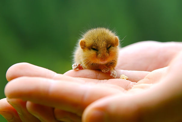 13. Мышонок детеныши, животные, милота