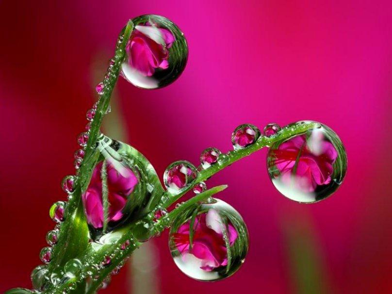 росы цветы вектор
