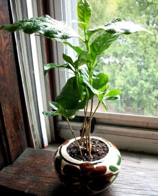 Выращивание в домашних условиях кофейного