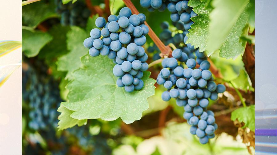Виноград для мозга