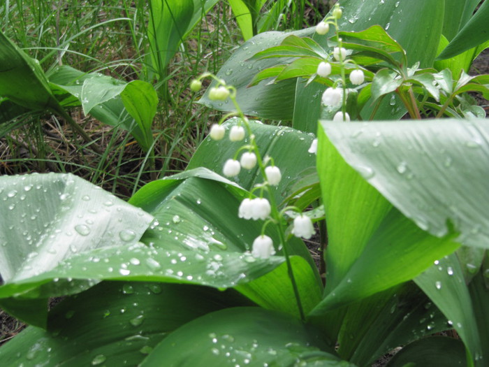 Лекарственные растения. ландыш майский (Convallaria majalis L.)