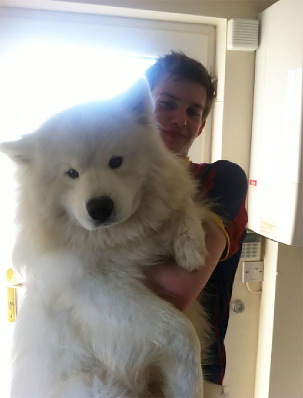 24.Самоед размер, собака