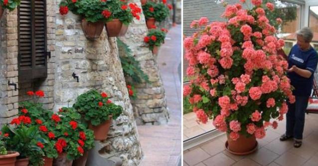 Я нашла растение, которое цветет в комнате целый год. сразу же себе купила такое!