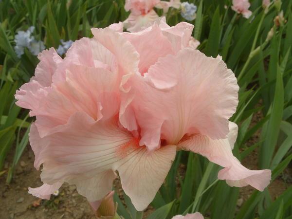 Ирис бородатый сорт Pink Sleigh