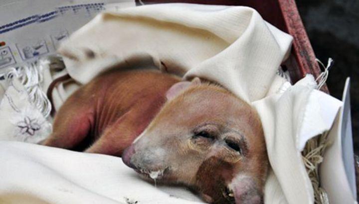Двухголовая свинья родилась в Китае