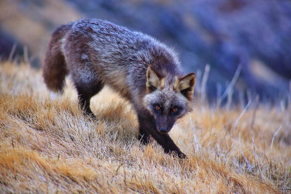 13. Черно-бурая лисица. люди, мир, удивительные фотографии