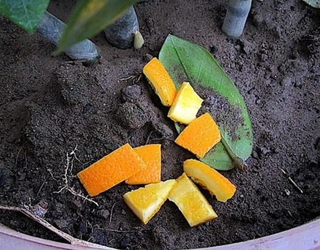 мандарины для домашних растений