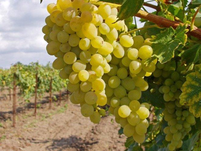 Как выращивать виноград. 10 советов начинающему виноградарю