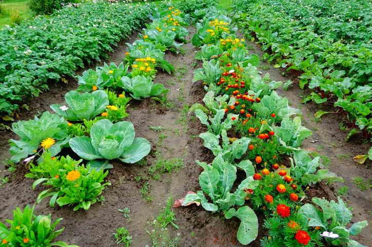 Уплотненные посадки и совместимость овощей на грядках