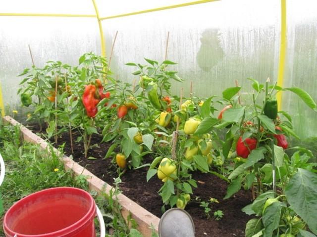 Что нужно делать, чтобы перцы не подкачали и дали огромный урожай