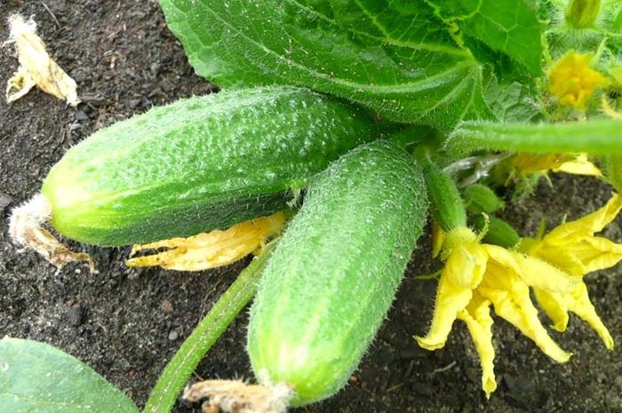 Как избавить плоды огурца от горечи и добиться их идеальной формы