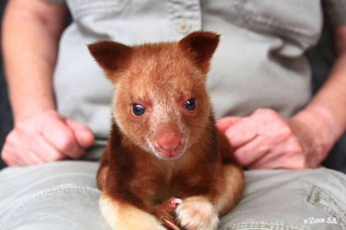 Впервые спасли древесного кенгуренка, подсадив его в сумку суррогатной матери