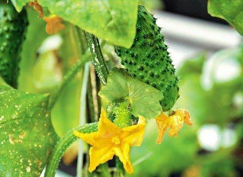 6 бесценных советов, чтобы листья огурцов не желтели