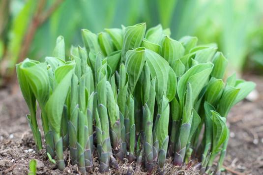 Размножать кусты хост желательно до полного разворачивания листьев
