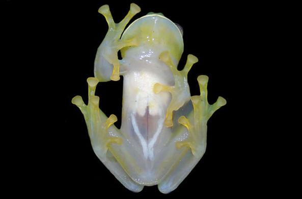 В Колумбии обнаружили новый вид прозрачных лягушек
