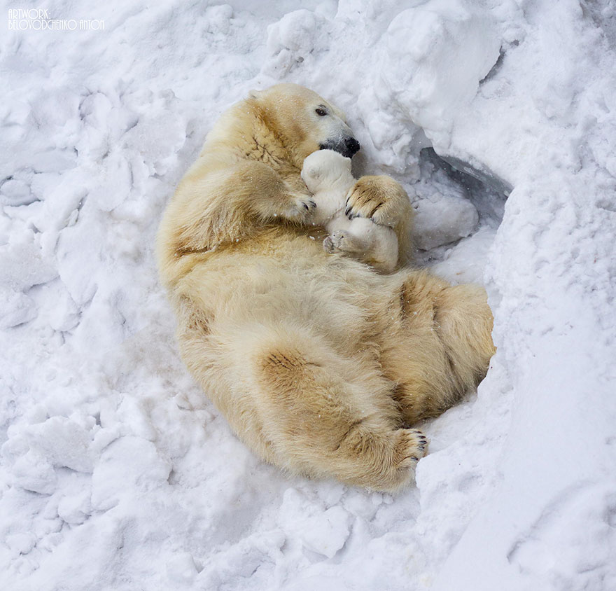polarbearparents2