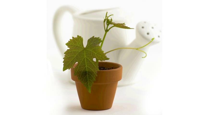 Саженец винограда из косточки: как вырастить и какие перспективы