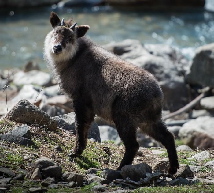 Японский сероу: Волк и коза в одном обличье