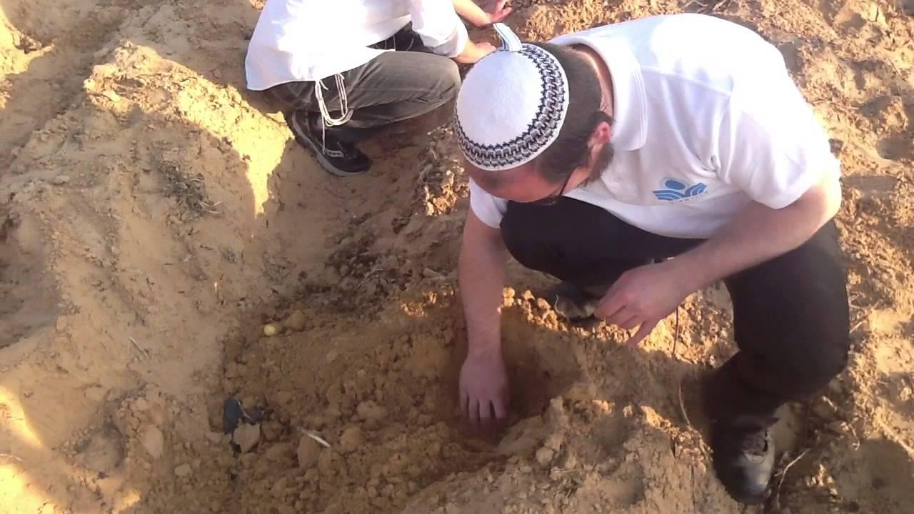 Как растёт картошка в Израиле.