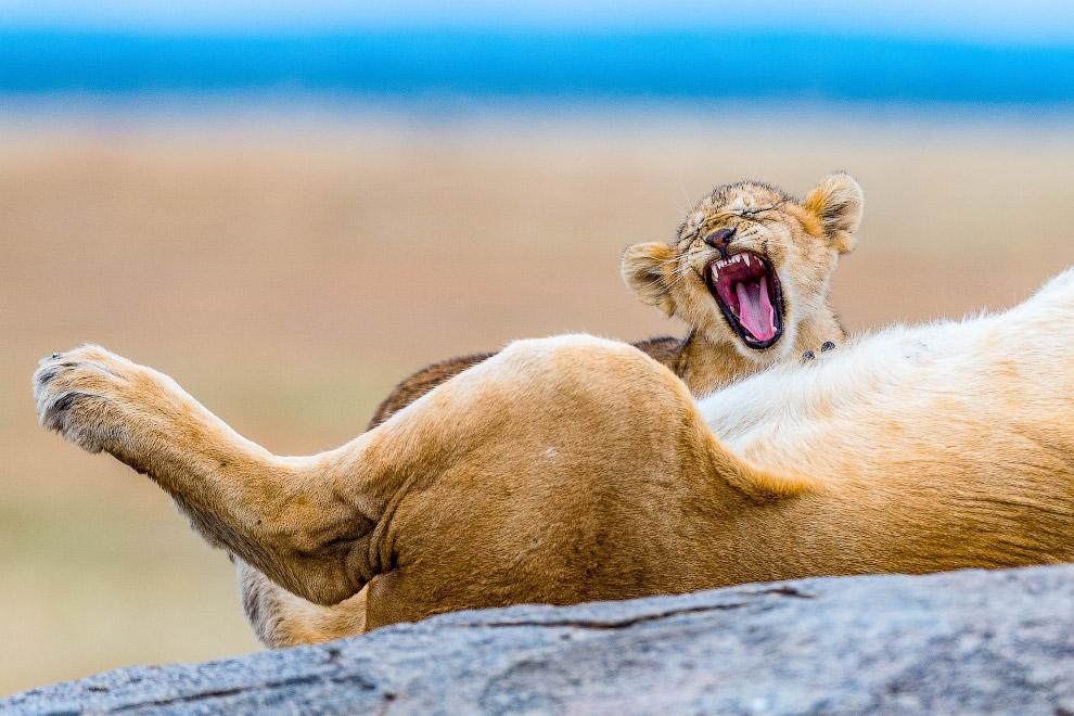Уставшие львы
