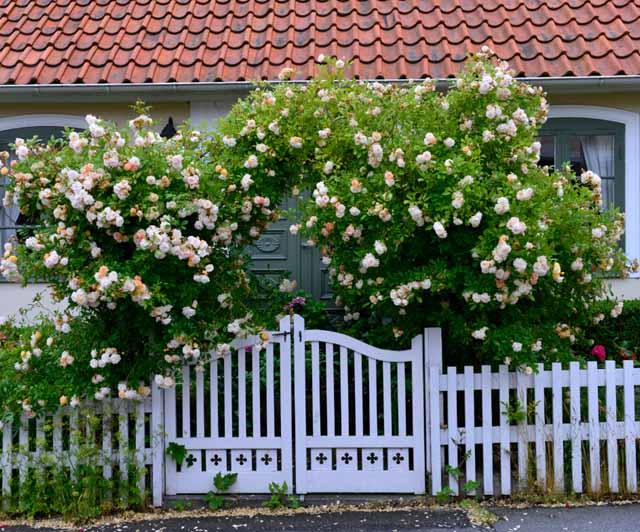 Плетистая роза: Правильный уход. 35 садовых арок из роз