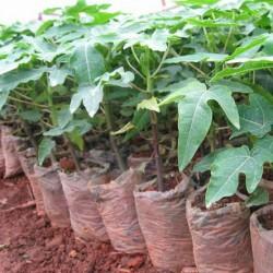 Папайя из семян выращивание 51
