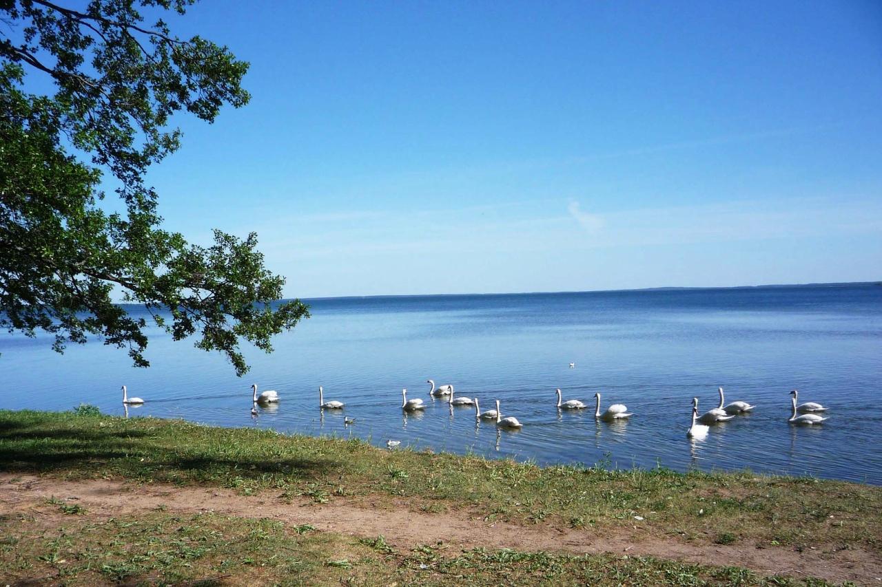 Орнитологическое обследование популяции лебедей на озере Нарочь