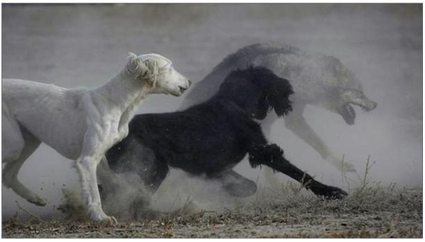 Кыргызская порода собак «Тайган»