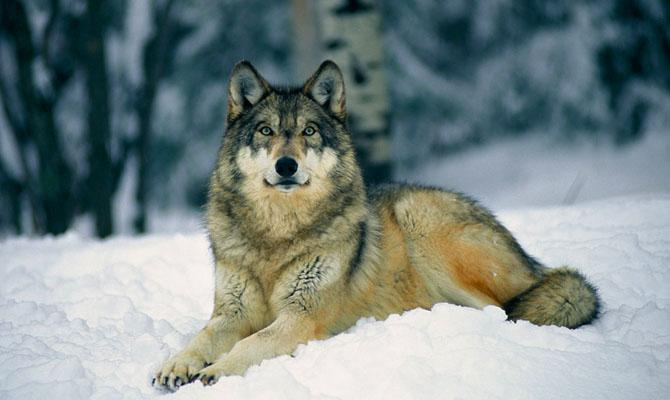 Интересные факты о лесных животных, Волк