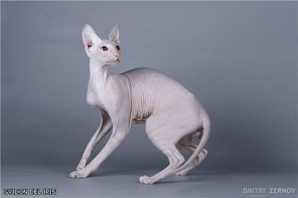 Петербургский сфинкс, петерболд, фото породы кошек фотография