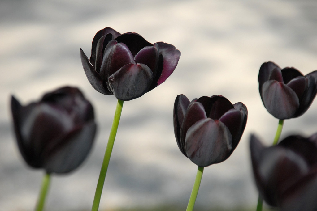 скачать торрент черный тюльпан - фото 8