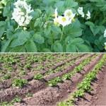 Картофель — посадка и уход (советы из интернета)